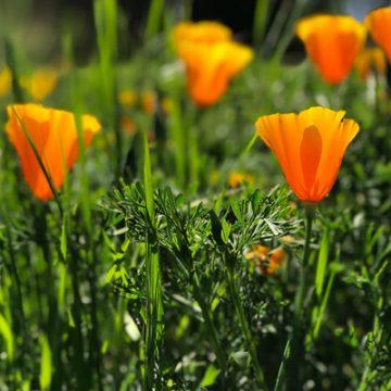 Spring Poppy | thecozyapron.com