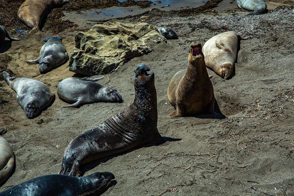 Elephant Seals, Beach, Piedras Blancas, California | thecozyapron.com