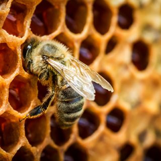 Honey bee at work on its comb | thecozyapron.com